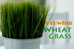 Growing Wheat Grass and Health Benefits | All Content