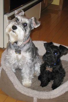 Puppy Rondo with Bosh, this is such a darling picture of two Adorable mini schnauzer