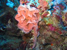 Eggs of a nudibranch (Spanish Dancer)
