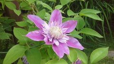 Clematis Josephine. Planted in 2015 it already got to the top of the 2,3m pergola! Photo: Dagmara Walkowicz