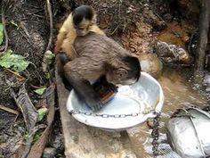 O macaco que lava o tacho  - http://www.jacaesta.com/o-macaco-que-lava-o-tacho/