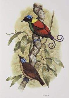 Wilson's Bird of Paradise from the 'Rituals of Seduction: Birds of Paradise' exhibition -- William T. Cooper