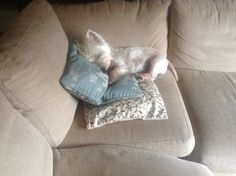 This is My Couch! | West Highland White Terrier