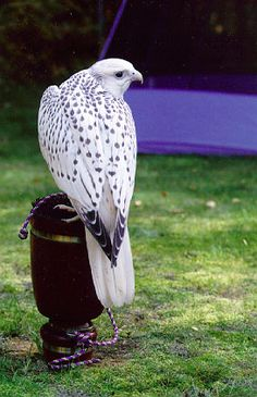 Alaska Falcons