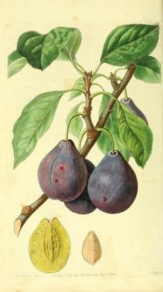 antique botanical illustration - Google-søk