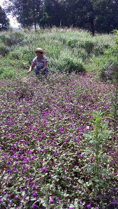 Campo de flores(siempre vive). Paraguay