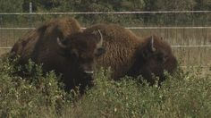 After months of planning, eleven bison are settling into their new home outside Mankato. KEYC - Channel 12 in Mankato is the area's source for news, weather and sports.