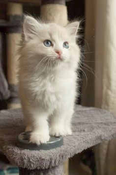 White kitten on a chair. Cats and Kittens >