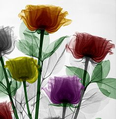 x-ray of roses by Arie Van't Riet