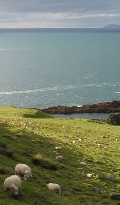 Sheeps near the Sea, North Island NZ