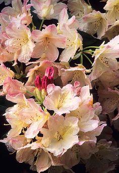 Azalea Rhododendron 'Percy Wideman' Fotografia de John Glover, uno de los primeros y de los mas importantes fotografos de jardin del Reino Unido