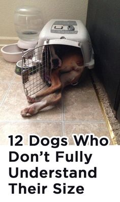 12 Dogs Who Don't Fully Understand Their Size http://theilovedogssite.com/12-dogs-who-dont-fully-understand-their-size/