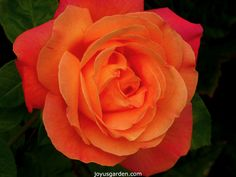 Love the colors of this Rose!