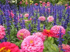 Image from http://www.rose-gardening-made-easy.com/images/salvias.jpg.