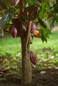 Cacao tree plant with pod ready to ripe Spicy Spice, Action Photography, Royal Caribbean, Nature Photos, Trees To Plant, Garden Inspiration, Things To Come, Wallpapers, Landscape