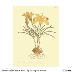 Cloth of Gold Crocus Illustration Postcard