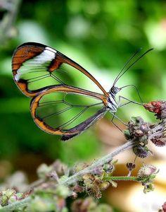 Fotos impressionantes da borboleta transparente