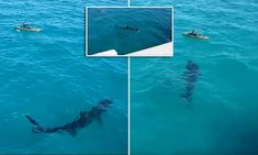 The terrifying moment onlookers shout in horror as ominous shadow of a gigantic shark swims just feet away from a lone kayaker | Daily Mail Online