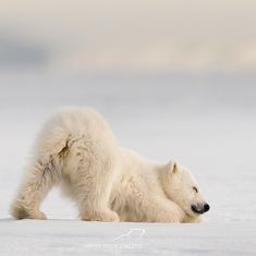 Polar Bear with his butt up in the air Save The Polar Bears, Baby Polar Bears, Grizzly Bears, Cute Bear, Cute Polar Bear, Nature Animals, Animals And Pets, Wild Animals, Wildlife Nature