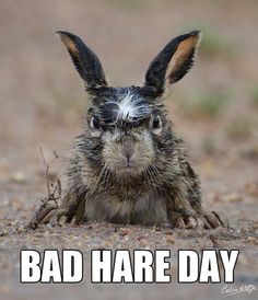 Disgruntled hare is having a terrible morning. Wildlife photographer Calvin Kotze perfectly captured the mood this hare was in after a night in the rain… Angry Animals, Funny Animals, Cute Animals, Animals Images, Funniest Animals, Crazy Animals, Wild Animals, Angry Birds, Animals Beautiful