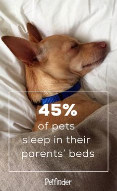Move over, Rover! 45% of dog parents report that their dog sleeps in bed with them. We're also guessing that 45% of dog parents report that their dog is a bed hog. Read more dog facts (and pet parenthood tips and tricks) on Petfinder.