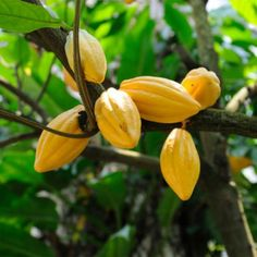 Cocoa Plant Photo - Photos of Odd-Looking Food Plants and Trees - Shape Magazine
