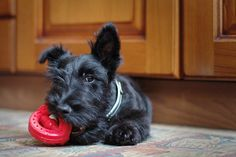 UNBEATABLE CUTENESS. | 21 Reasons Scottish Terriers Are The Champions Of Our Heart via Buzzfeed