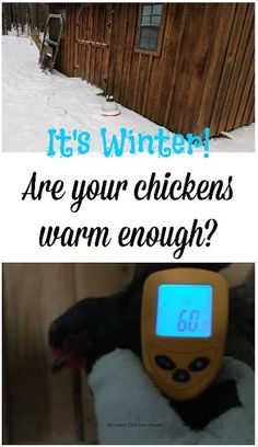 It's winter. Are your chickens warm enough? I check their external temperature with an infrared thermometer to find out.