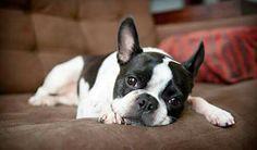 I'm gonna take nap now, a sleepy Frenchton Puppy, French Bulldog and Boston Terrier mix ❤️