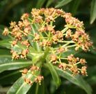 Euphorbia mellifera: A magnificent evergreen euphorbia that makes a dramatic statement. It has stiff stems strung with whorls of bright green leaves with a white stripe down the centre and topped in spring with small honey-scented flowers.  It forms a natural dome shape, and gives structure and an architectual quality to the garden.