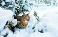 Winter can pose risks for our feline friends.To keep your cat safe, here are cat behaviorist, Pam Johnson-Bennett's: Cold Weather Safety Tips for Cat Parents. Cute Cats And Dogs, Cats And Kittens, Lovely Creatures, Outdoor Cats, Happy Animals, Beautiful Cats, Cat Breeds, Cat Lovers, Pets