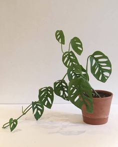 Monstera Obliqua, the Swiss cheese house plant