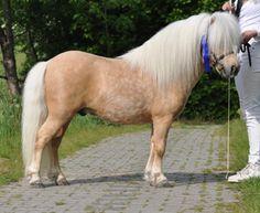 Shetland Pony - stallion Bakkegaard's Buzzlightning