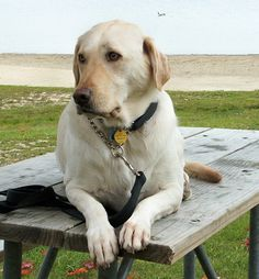 Labrador Retriever. My most desired new friend.  Someday........................someday......
