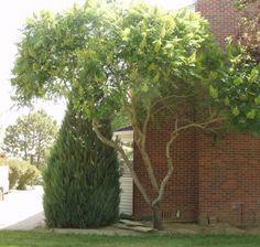 I forhaven genkendes træerne fra haven. Rhus typhina / Hjortetaktræ - letløvet, flerstammet, elegant grenstruktur