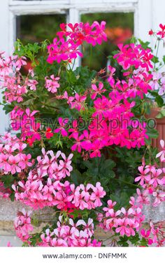 peltatum, common names ivy-leaf geranium and cascading geranium // Pelargonium peltatum, ou géranium des balcons Stock Photo Container Flowers, Container Plants, Container Gardening Vegetables, Succulent Containers, Vegetable Gardening, Ivy Geraniums, Ivy Plants, Potted Plants, Ivy Leaf