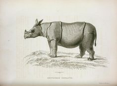 Phinoceros sondaicus. From New York Public Library Digital Collections.