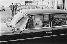 1964 Scheiden doet leiden ook voor poedels. Dat ook poedels zelfs witte hof-poedels de waarheid erkennen van het spreekwoord scheiden doet lijden bewijst deze foto van de witte poedel van z.k.h. Prins bernhard die eenzaam in de hof-auto achterbleef toen koningin juliana op schiphol prins bernhard en prinses beatrix uitgeleide deed bij hun vertrek zondagmiddag naar tokio voor het bijwonen van de olympische spelen.