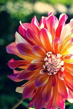 »✿❤Carleen❤✿« Yellow Pink Sunrise dahlia