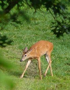 how to make natural deer repellant