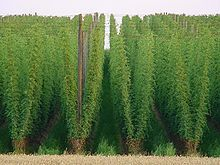 Although smaller, I want my hops garden to look like this. Hmm...hops.