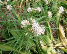 Arizona milkweed, Hummingbird - Boyce Thompson Arboretum