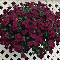 Tempo Burgundy impatiens seeds - Garden Seeds - Annual Flower Seeds