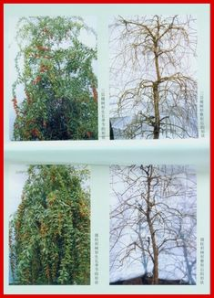 Goji Pruning Instruction - GojiTrees® Global Distribution, LLC Very good article on pruning Goji as a tree for production and aesthetics.