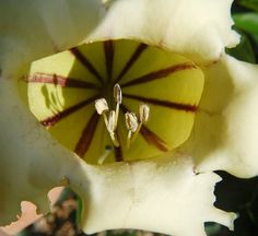 """Brown """"approach lines"""" guide bees into Chalice Vine and its shadowy stamens 