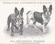1905, carte postale bouledogue Français