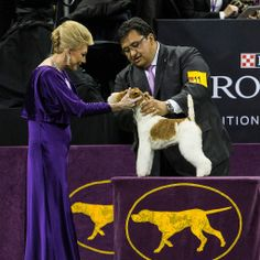 Wire Fox Terrier Wins 138th Westminster Dog Show
