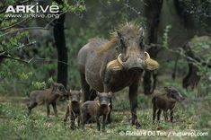 Common warthog female with young piglets