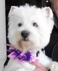 BROOKE is an adoptable West Highland White Terrier Westie Dog in El Cajon, CA. Hello Everyone.....BROOKE here...... More information and my glam photos are comming shortly........... BROOKE. Thank you...