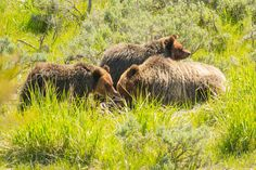ChicagoBob46 posted a photo:  This Grizzly Bear sow and her two yearling cubs look like they have all been feeding on a recently downed Elk calf.
